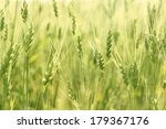 green and yellow spring wheat...   Shutterstock . vector #179367176