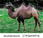 Bactrian camel on the lawn....