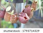 Tropical Pitcher Plants ...