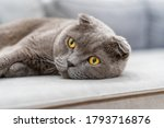 A Large Grey British Cat Is...