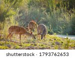 A Small Lowland Nyala Or Simply ...
