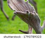 Fallow Deer Horn Detail On...