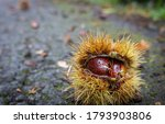 Forest Chestnuts On The Ground. ...