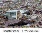 Marmot Looking In Glacier...