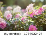 Beautiful Pink Roses In Garden. ...