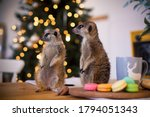 The Meerkat Or Suricate Cubs In ...