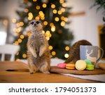 The Meerkat Or Suricate Cub In...