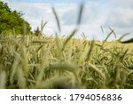 Cornfield At The Countryside In ...