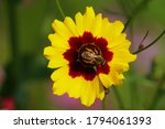 A Bee Sits On A Yellow And...