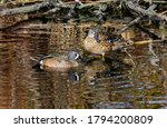 A Blue-winged teal couple resting in the shallow waters of a wooded pond.