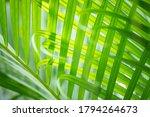 Closeup Fresh Palm Leaf Under...