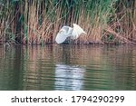 Great Egret Flying With Fish In ...