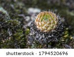 Succulents In Nature. The...