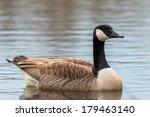Canada Goose   Branta Canadensis