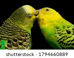 A Pair Of Common Parakeets...