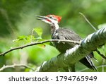 Male Pileated Woodpecker ...