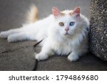 Ayberk The Turkish Van Cat