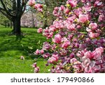 Magnolia In Full Bloom And A...