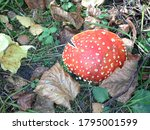 Amanita Mushroom Cap In The...
