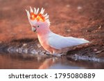 Wild pink cockatoo (Lophochroa leadbeateri) taking a bath