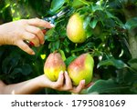 Pear Harvest In An Orchard ...