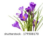 Crocus Flower In The Spring...