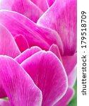 cyclamen pink flower | Shutterstock . vector #179518709