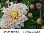 Close Up Of A Pink Dahlia