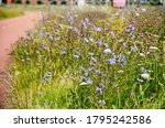 Chicory And Other Wildflowers...