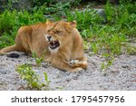 Small photo of Lion with angy gnash teeth