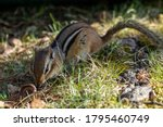 Chipmunk Foraging In The Grass