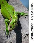 Green Iguana Walked On A Tree...