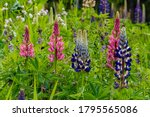 Closeup Of Garden Lupines ...