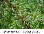 Ripe Fruits Of Lupinus...
