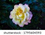 Rose Tea Hybrid Gloria Day. A...