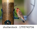 The House Finch. Young Bird On...