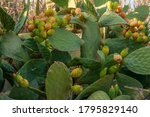 Image Of A Prickly Pear Tree...