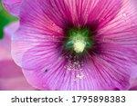 Mallow Flower  Closeup...