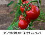 Beautiful Red Ripe Tomatoes...