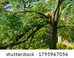 Large Green Leafed Tree With A...
