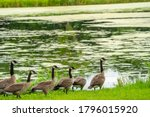 Many Geese Swim In Summer Pond...
