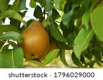 Pear Branch With Ripe Pear...