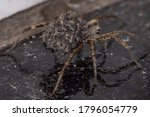 Wolf Spider Of The Family...