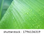 Banana Leaves With Rainwater...