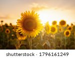 Sunflowers In The Field ...