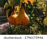 Two Ripe Juicy Yellow Pears...