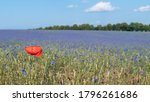 Red Field Poppy Flower Head And ...
