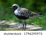 A Close Up Of A Grey Plover ...