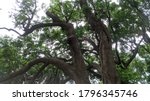 Evergreen Forest Tree View  In...