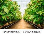 Strawberry And Raspberry Farm...